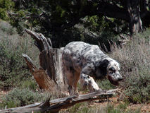 English Setter Hunting Royalty Free Stock Photography