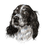 English setter Royalty Free Stock Images