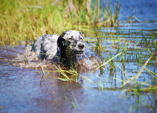 English setter at lake Stock Photography