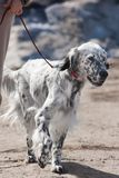 English setter on the leash Royalty Free Stock Image
