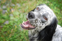 English setter looking with affection Royalty Free Stock Photography