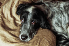 English Setter lying in a bed Stock Image