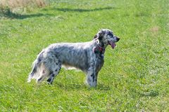 English Setter on the meadow Stock Photography