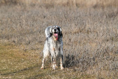 The English setter Stock Photos