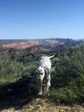 English Setter With Mountain Backdrop stock photos