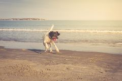 English setter playing on the beach Stock Photos
