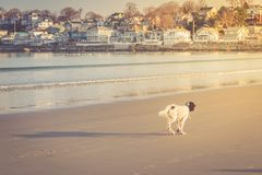 English setter playing on the beach Royalty Free Stock Image