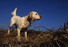 English Setter on Point. An english setter on point during a bird hunt Royalty Free Stock Photo