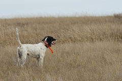 English Setter on Point Stock Photos