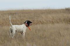 English Setter on Point. A Bird dog on point on a native prairie in North Dakota stock photos