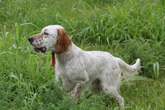 English setter pointing quail Royalty Free Stock Images
