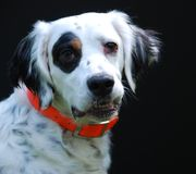 English Setter Portrait Royalty Free Stock Image