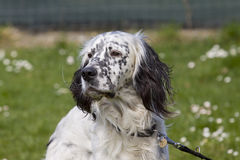 English Setter Portrait Stock Photos