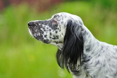 English setter portrait Royalty Free Stock Images