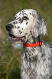 English setter portrait Stock Images