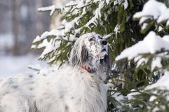 English setter portrait Stock Photo