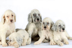 English Setter puppies. A litter of five English setter puppies in a row isolated on white studio background royalty free stock photo