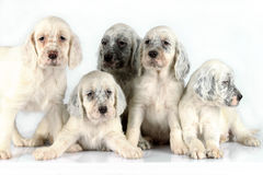 English Setter puppies Stock Photos