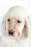 English Setter puppy Stock Photos