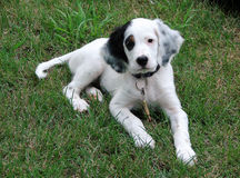 English Setter Puppy. Laying in the grass Royalty Free Stock Image