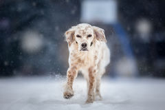 English Setter Running on winter Royalty Free Stock Images