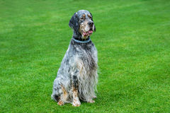 English setter sitting  on green field. Royalty Free Stock Photo