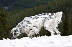 English Setter in the Snow Royalty Free Stock Image