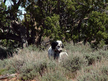 English Setter Stalking Stock Image