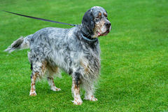 English setter standing  on green field. Stock Photography