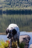 English setter on a vacation. Rest after work. Siberia