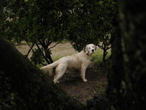 English setter white. Setter white in its working position Royalty Free Stock Photo
