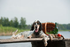 English Setter With Hunting Birds Stock Photography