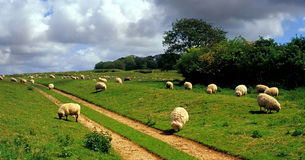 English sheep. Sheep grazing near Badbury Rings, Dorset Royalty Free Stock Images