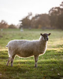 English sheep in countryside Stock Photography