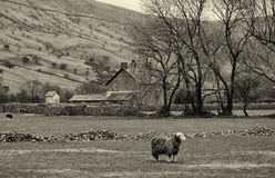 English Sheep Farm, Lake District Royalty Free Stock Photo