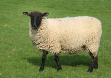 English sheep in field. Black faced sheep on grass Stock Photography