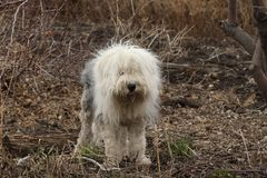 An English Sheepdog. An Old English Sheepdog in the forest stock images