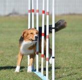 English Shepherd at Dog Agility Trial Royalty Free Stock Image