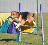 English Shepherd at a Dog Agility Trial Royalty Free Stock Photos