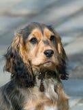 English Show Cocker Spaniel Puppy Royalty Free Stock Photo