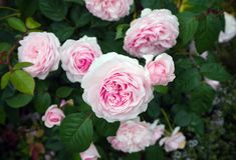 English shrub pink Olivia rose Austin in garden. royalty free stock image
