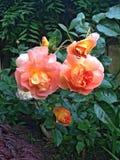 English shrub rose PAT AUSTIN or Ausmum Royalty Free Stock Images