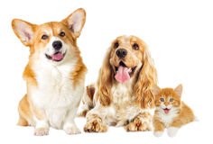 English Spaniel dog and kitten Stock Photography