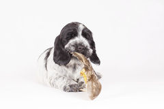 English spaniel puppy. Chews wing duck Stock Image