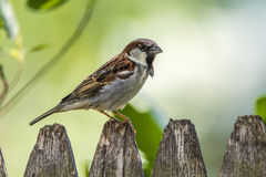 English Sparrow. A male English sparrow perched on a fence Stock Photography