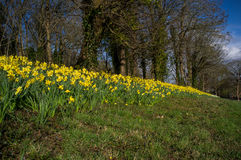 English Spring meadow. Ablaze with vibrant daffodils Stock Photography