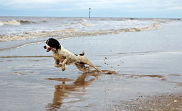 English Springer At The Beach. English springer spaniel having fun at the beach with the waves lapping onto the sand Royalty Free Stock Image