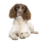 English Springer Spaniel (10 months) Royalty Free Stock Photo