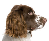 English Springer Spaniel (10 months) Royalty Free Stock Photos