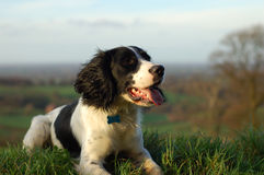 English Springer Spaniel stock image